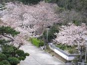 春になると山側一部客室からは桜並木を見ることが出来ます