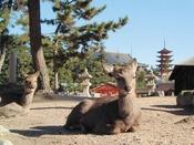 いつ行ってもかならず出会うことのできる宮島の鹿。かわいらしい鹿を探して記念撮影なども楽しめます。