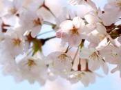 桜の開花は、例年4月中頃。