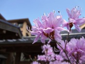 【春】春になるとツツジが綺麗に咲きます。