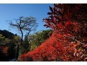 抜けるような秋空に紅く映えるのは明神館のドウダンツツジ。そして、扉の山の見所はなんと言っても紅葉ならぬ「黄葉」。日々色づきを増す木々の黄色やオレンジのモザイク柄がなんとも言えぬ優しい温もりを感じさせてくれます。扉の湯に浸かり秋の深まりを感じて下さい。