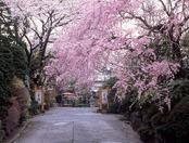 正面入り口の桜