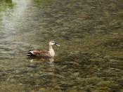 【高瀬川】のんびりと泳ぐ鴨を見ていると、ゆったりとした気分ですごせますよ♪