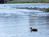 【鴨川】季節によって、様々な種類の野鳥と出会えます。