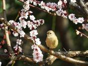 *35000本の梅の木々が楽しめる曽我梅林梅まつり イメージ