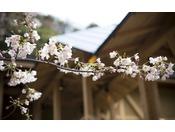 春は温泉棟からの桜見が