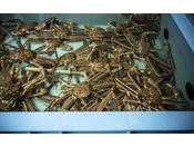 【蟹名店のこだわり】いつしか水産会社以上の数のカニ専用の水槽設備を有するまでに