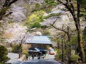 桜の時期、県道からの坂道は桜の回廊となります