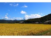 黄金色に輝く米どころ丹後半島 新米は必ず食べていただきたい