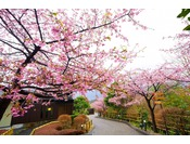 通路桜並木