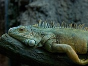 iZoo:日本最大!爬虫類・両生類の動物園<当館から車約65分>