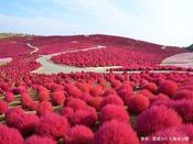 【ひたち海浜公園】深紅のじゅうたんのようなロマンチックな空間は秋の大人デートにぴったり!