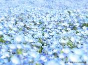 【ひたち海浜公園】春に咲き乱れるネモフィラ