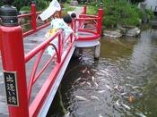 わー!鯉がいっぱい