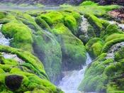 *【チャツボミゴケ公園】国の天然記念物に指定されている、酸性の水を好むめずらしいコケの群生地。(冬季閉園)