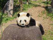 【神戸市立王子動物園】*パンダ*ジャイアントパンダは大人気☆かわいらしい姿に癒されますね。春は桜の見どころとしても有名な「王子動物園」。ぜひお弁当を持っておでかけください。