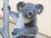 【神戸市立王子動物園】*コアラ*動物園で人気の動物「パンダ」「コアラ」の両方が見られるのは、日本でここだけ!!神戸に来たからには立ち寄りたいスポットです。