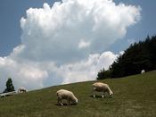 【六甲山】*神戸市立六甲山牧場*羊が自由に歩き回っていて、えさやり体験もできる。いろいろなイベントが行われているので、ぜひHPをチェックしてみて。