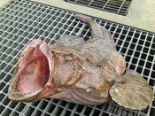 【アンコウ】三浦屋名物の津軽海峡で育ったアンコウ。引き締まった身は1月~3月が旬です。