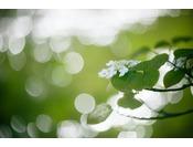 もう一つの春の印。オオカメノキ開花
