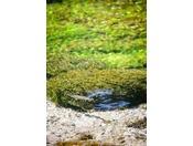 長さ100Mの川・清水川に泳ぐ天然の岩魚