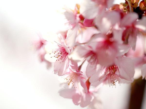 ◆ 厳冬の中咲き誇る河津桜 ◆