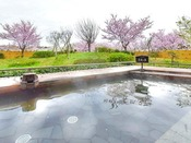 露天風呂から見る桜