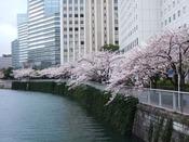 ホテル目の前の目黒川桜並木