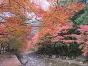 大寧寺の紅葉:大谷山荘より徒歩約21分、川沿いを覆う紅葉は、撮影ポイントです。小雨の日には、紅色がほんわりと浮かびあがり、旅情を誘います。
