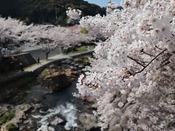 大谷山荘前の桜が満開となりました。