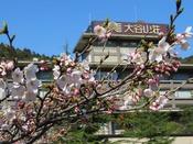 大谷山荘前を流れる音信川沿いの桜が咲きはじめました。例年より少し遅い開花となりましたが、桜色に包まれた川沿いの散策はおすすめです。