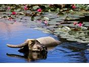 館内には水牛池に熱帯睡蓮が咲き誇ります