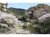 大谷山荘前の音信川の桜の様子。毎年、3月下旬から4月上旬にかけて音信川は桜の見頃を迎えます。
