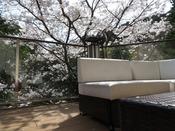 川床テラスの桜