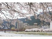 下呂温泉の桜は4月上旬から中旬が見頃です