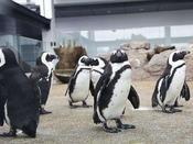 【京都水族館】ペンギンの歩く姿ってやっぱりかわいいですね。