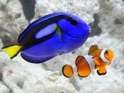 【京都水族館】「さんご礁のいきもの」カクレクマノミ&ナンヨウハギ