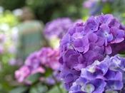 下田市内にある下田公園では、6月1日から6月30日まで「あじさい祭」が開催されます。敷地内には、15万株300万輪のあじさいが咲き誇ります。