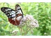 【アサギマダラ】数万頭の旅する蝶は、ゴンドラ山頂駅付近に飛来します