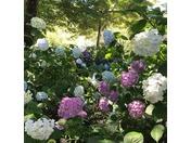 矢田寺のアジサイは、25,000平方メートルの境内に紫陽花庭園や見本園があり、 約60種類10,000株が咲き揃います。