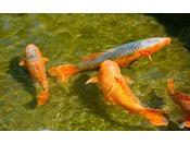 鯉の餌やりも大人気