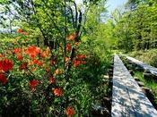 6月の上高地は鮮やかなレンゲツツジが遊歩道を彩ります。