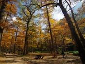 秋の小梨平~美しい落葉松の森の中を散策。