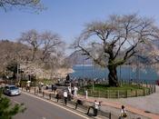 例年4月下旬に開花しゴールデンウィークが見ごろになります。