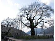 【荘川桜】御母衣湖(みほろこ)畔中野展望台にある2本の巨桜。※ホテルから車で約15分