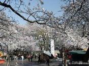 川越大師 喜多院の桜