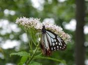 アサギマダラと夏のヒヨドリバナ(鵯花)
