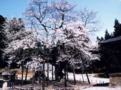 県指定天然記念物、法福寺 明日の大桜。宇奈月温泉から車で約15分。