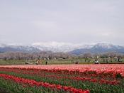 清流舟川をはさみ、約250本のソメイヨシノが川の両岸800mにわたって咲き誇ります。花見の時期には、チューリップや菜の花も花を咲かせ、淡い色の桜並木、残雪の朝日岳の絶妙なコントラストが、見事な富山の春の景色をつくります。