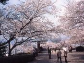 広島比治山公園(桜)